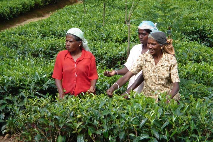 Người dân Nuwara Eliya thu hoạch trà