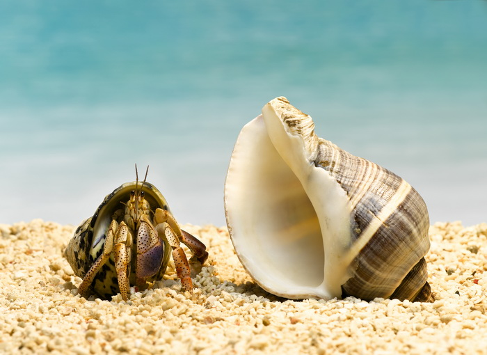 Hermit crab looking at larger shell